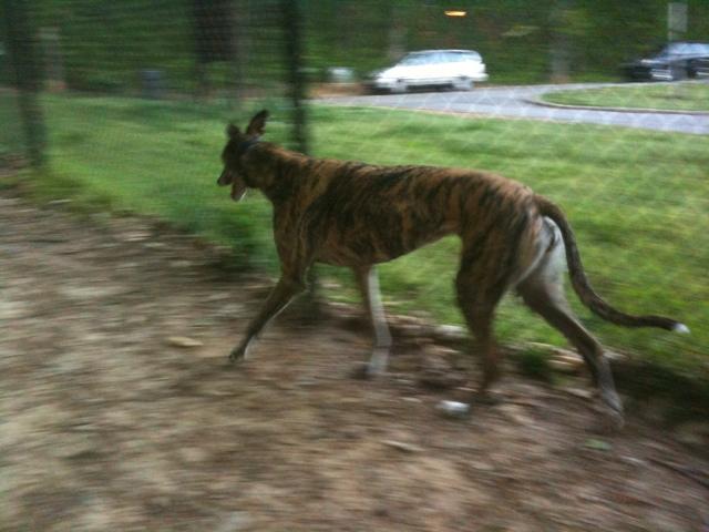 Gracie at Brook Run Dog Park